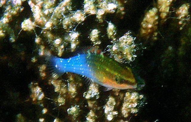 Image of <i>Pseudochromis cyanotaenia</i> Bleeker 1857
