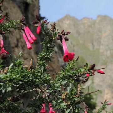 Image of <i>Cantua buxifolia</i> Jussieu ex Lamarck