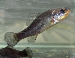 Image of Pirate perch