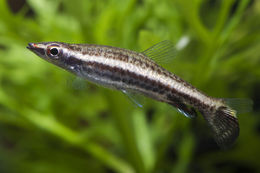 Image of Diptail pencilfish