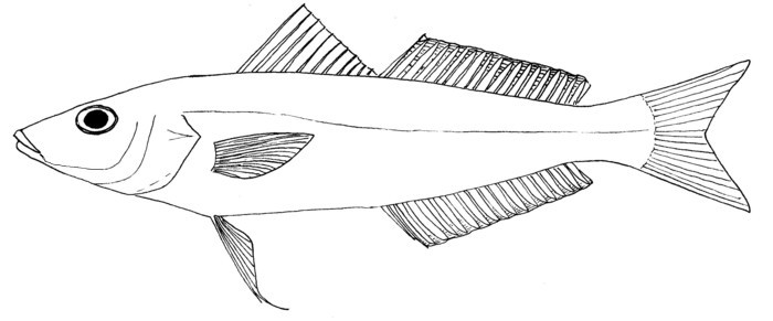 Image of Bay whiting