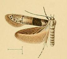 Image of <i>Blastobasis velutina</i> Walsingham 1908