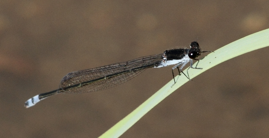 Image of Black Sprite