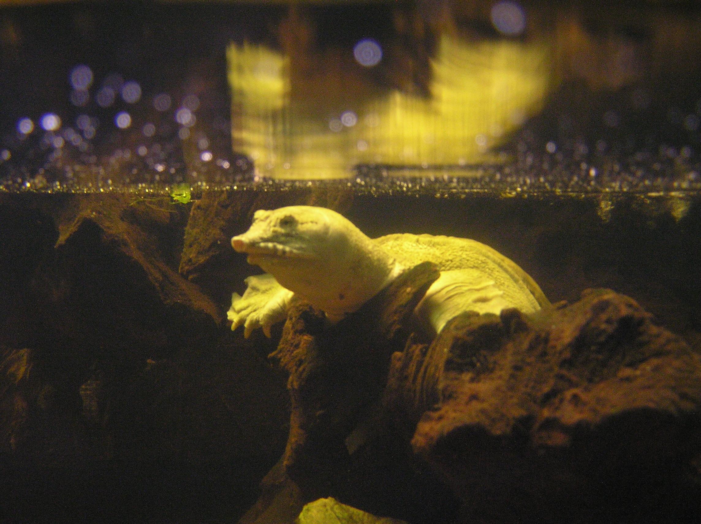 Image of Chinese softshell turtle