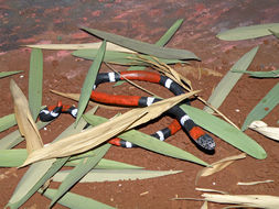 Image of Argentinian Coral Snake