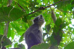 Image of North Sumatran Leaf Monkey