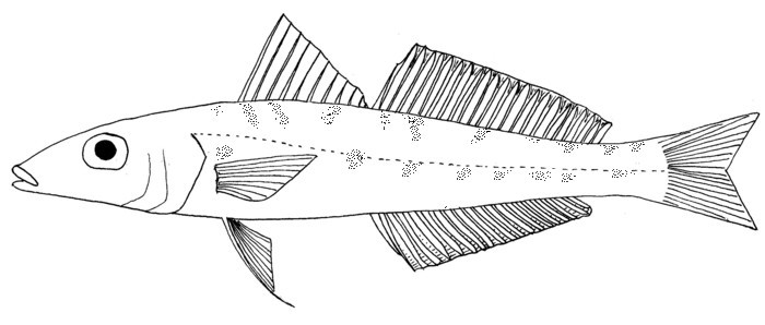 Image of Thai whiting