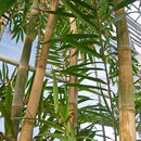 Image of common bamboo