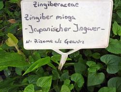 Image of Japanese ginger