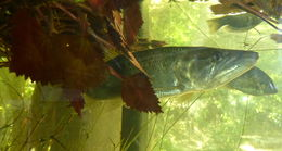 Image of African pike