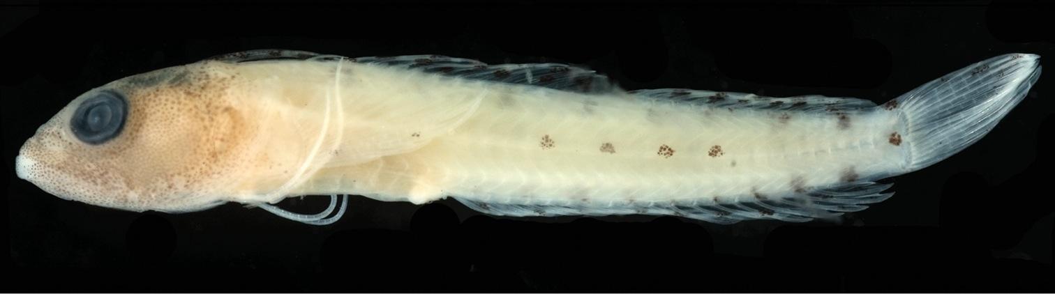 Image of <i>Haptoclinus dropi</i> Baldwin & Robertson 2013