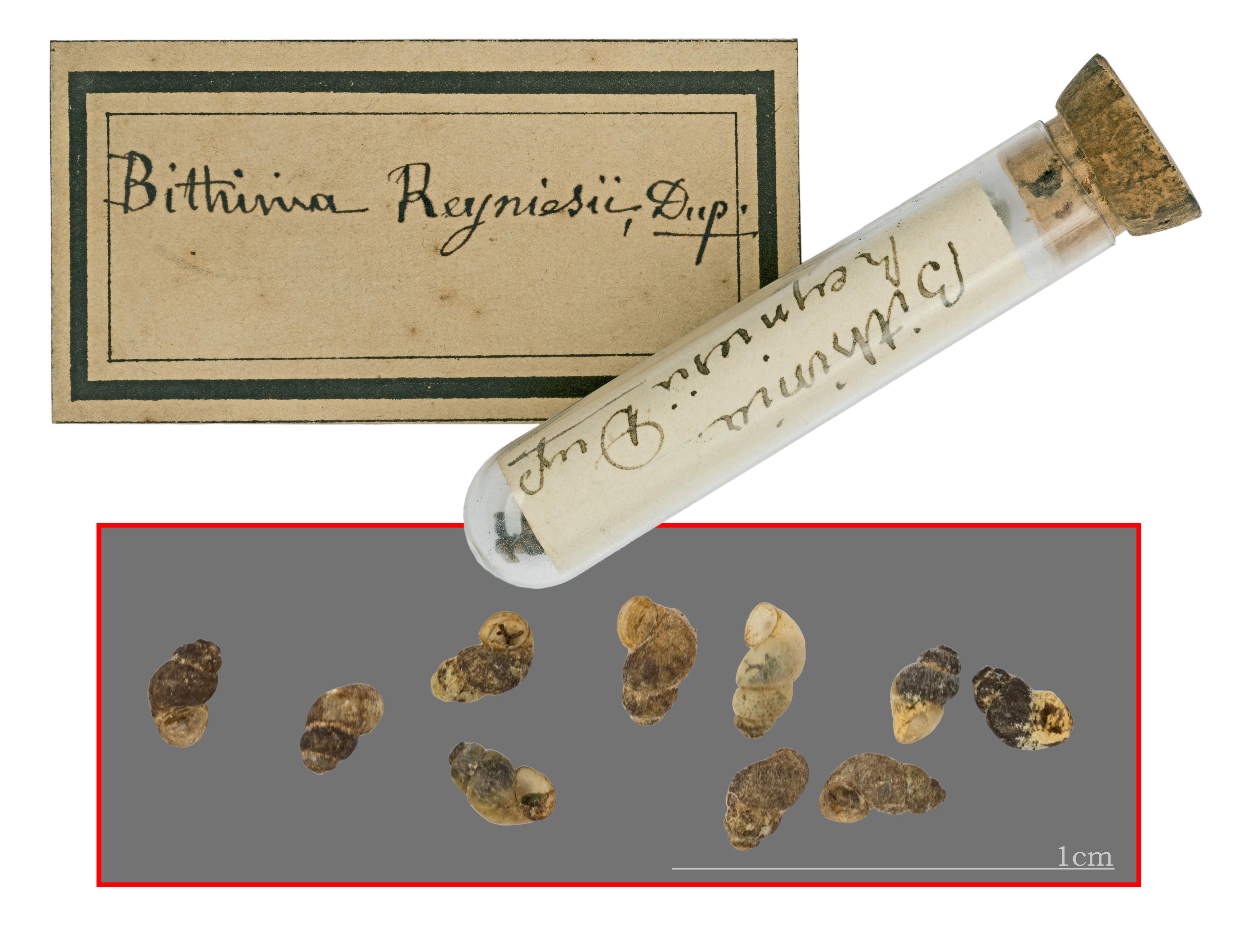 Image of <i>Bythinella reyniesii</i> (Dupuy 1851)
