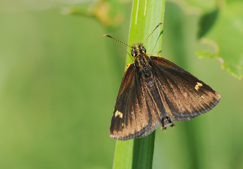 Image of Large Chequered Skipper