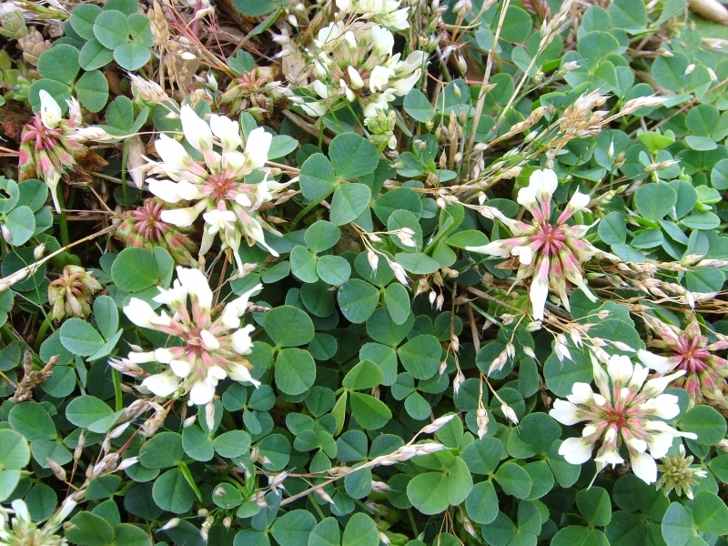 Image of <i>Trifolium occidentale</i>