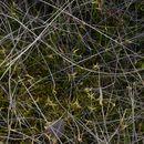 صورة <i>Carex pauciflora</i> Lightf.