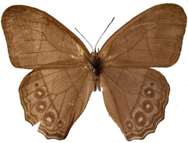 Image of <i>Archeuptychia cluena</i> Drury 1782