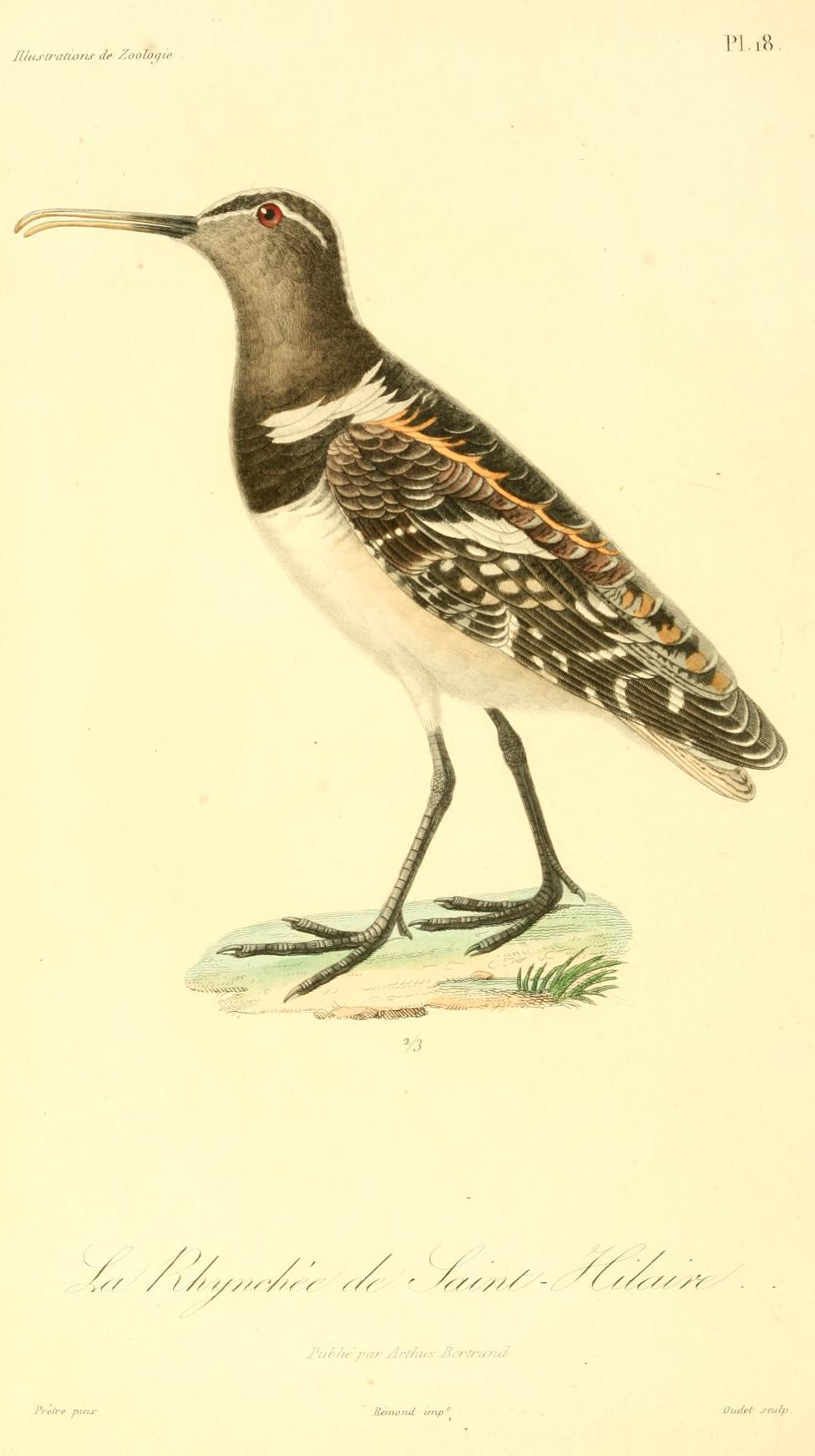 Image of American Painted-snipe