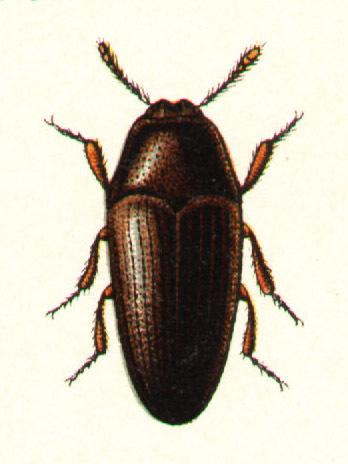 Image of <i>Trixagus dermestoides</i> (Linnaeus 1766) Linnaeus 1766