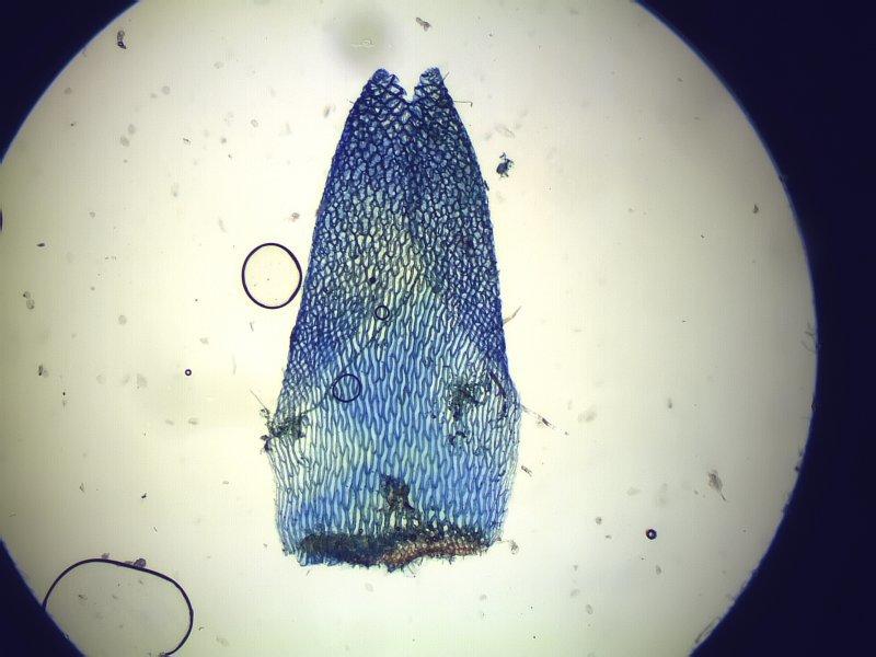 Image of Magellan's Sphagnum