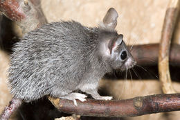 Image of Spiny mouse