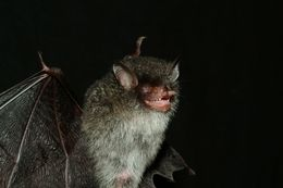 Image of Beelzebub bat