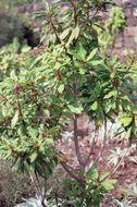 Image of <i>Clethra arborea</i> Aiton