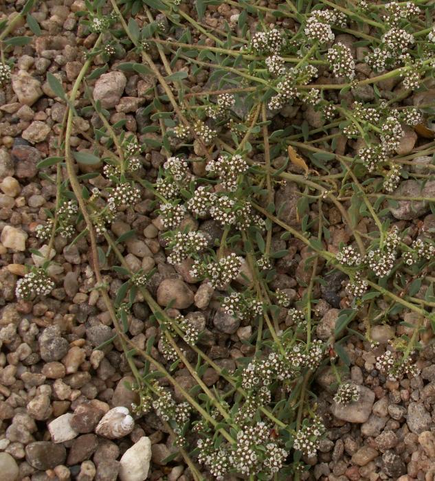 Image of Strapwort