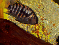 Image of Archocentrus nigrofasciatus