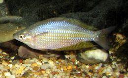Image of Eastern rainbowfish