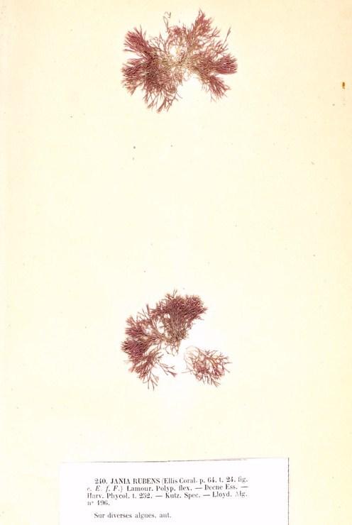 Image of <i>Jania rubens</i>