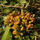 Image of pistachio nut
