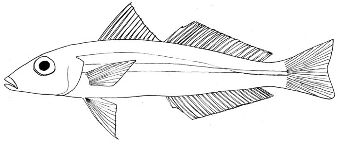 Image of Large-scale whiting