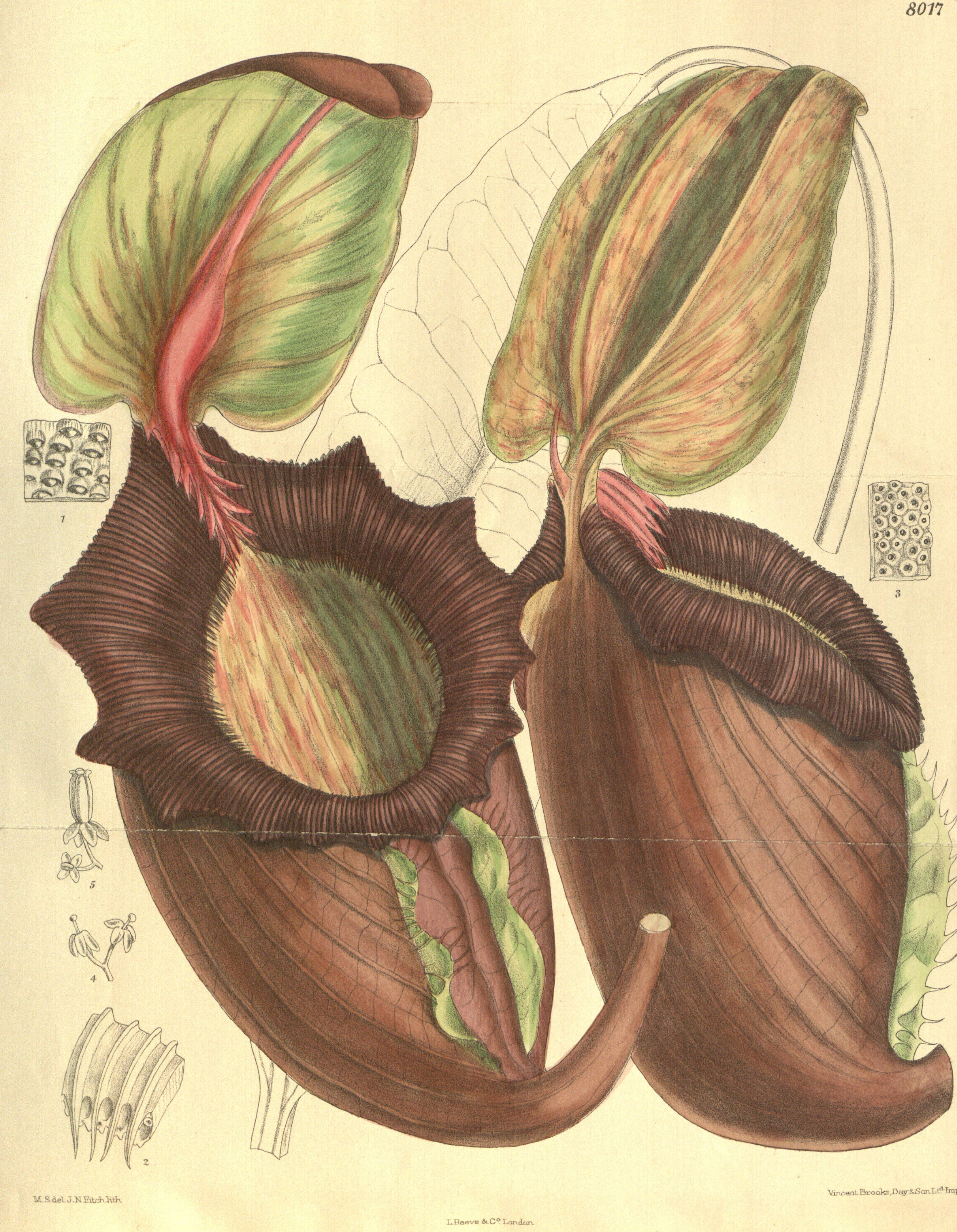 Image of <i>Nepenthes rajah</i>