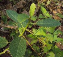 Sivun <i>Baliospermum montanum</i> kuva