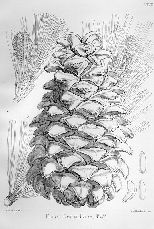 Image of Chilghoza Pine