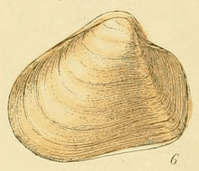 Image of <i>Thracia convexa</i> (W. Wood 1815)