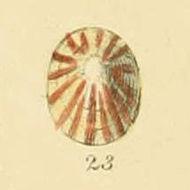 Image of <i>Tectura virginea</i> (O. F. Müller 1776)