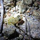 Image of Juventud Robber Frog