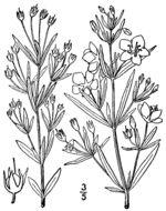 Image of <i>Lysimachia quadriflora</i> Sims