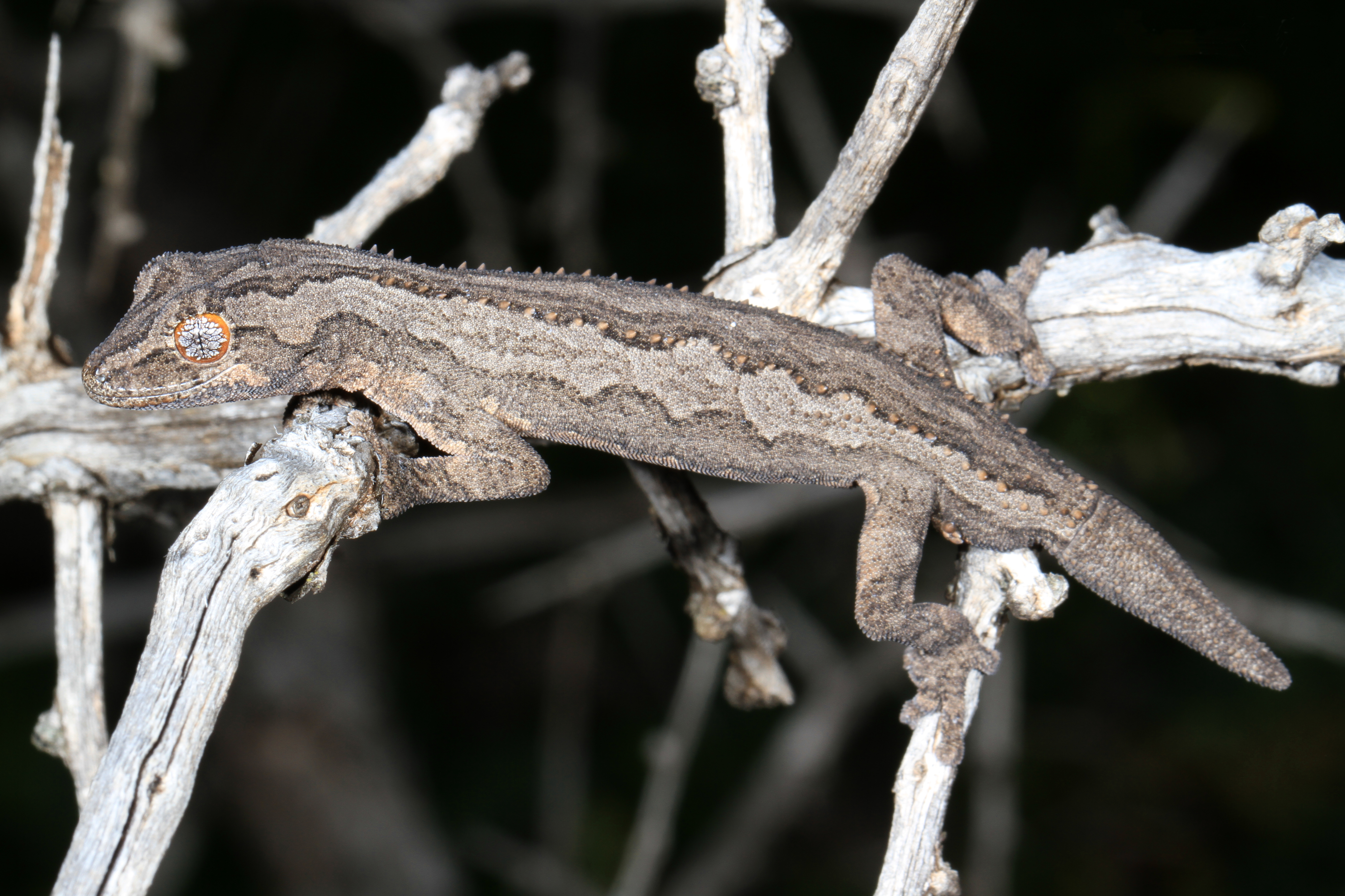 Image of Eastern Spiny-tailed Gecko