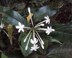 Image of <i>Tarenna nilagirica</i> (Bedd.) Bremek.