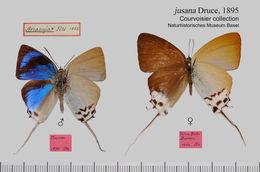 Image of <i>Jacoona anasuja</i> (Felder & Felder 1865)