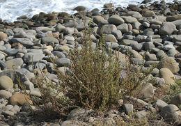 Image of <i>Bassia hyssopifolia</i> (Pall.) O. Kuntze