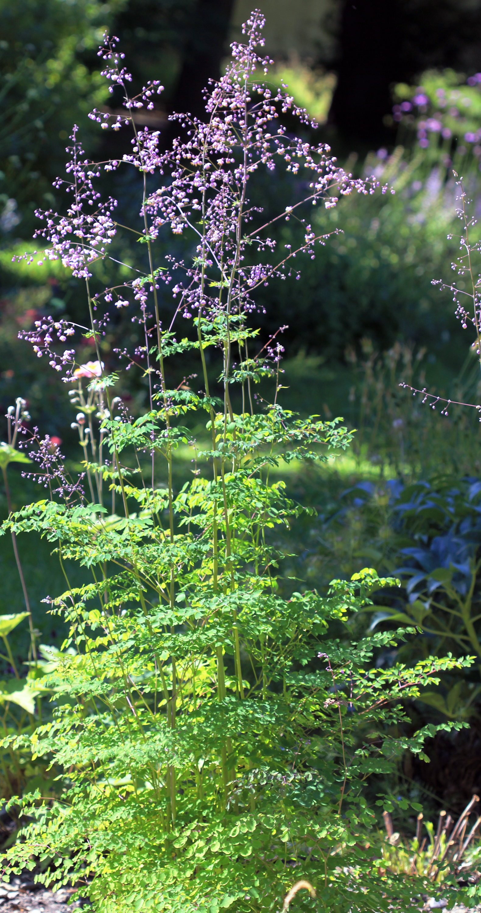 Image of Chinese Meadow-rue