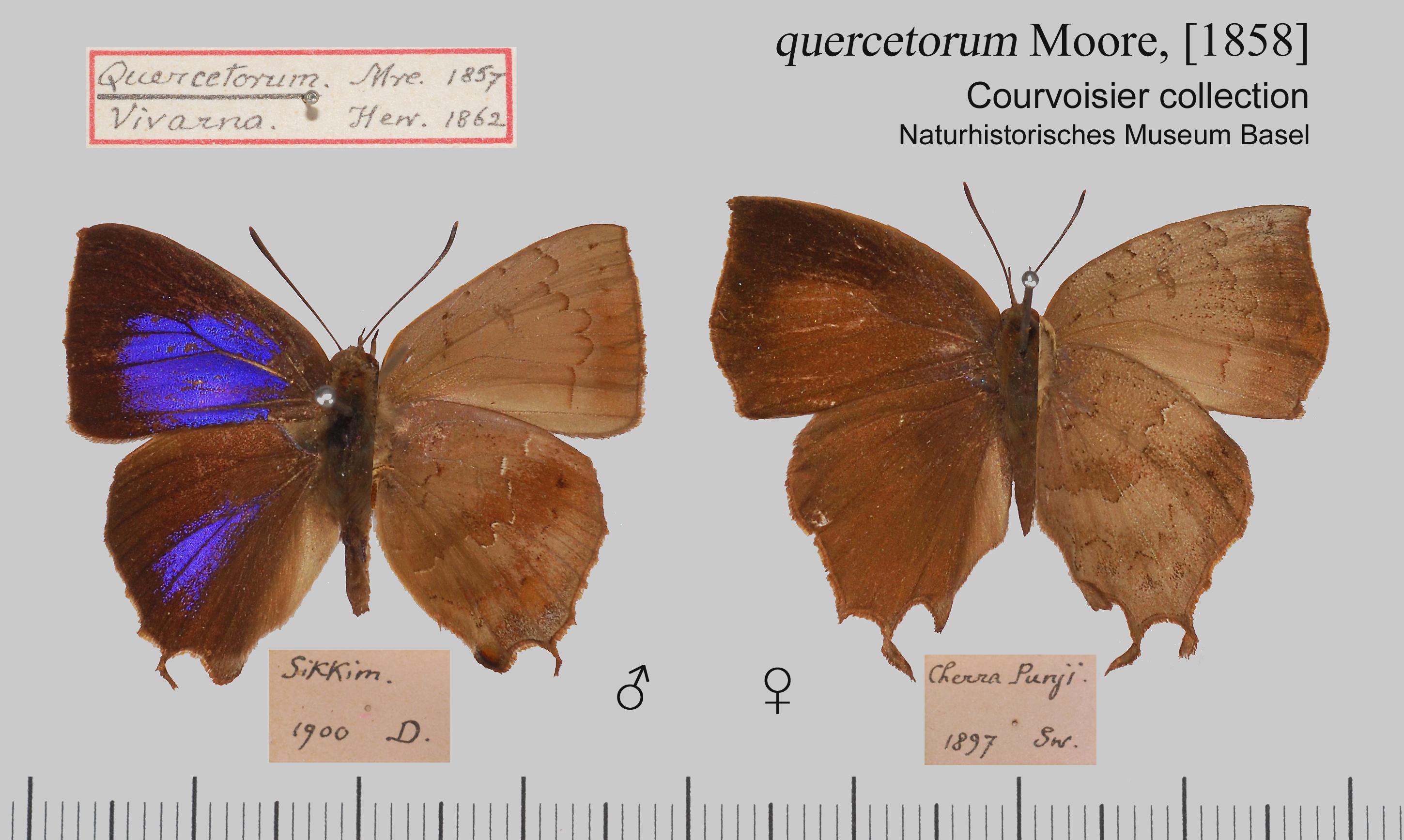 Image of <i>Surendra quercetorum</i> (Moore 1857)
