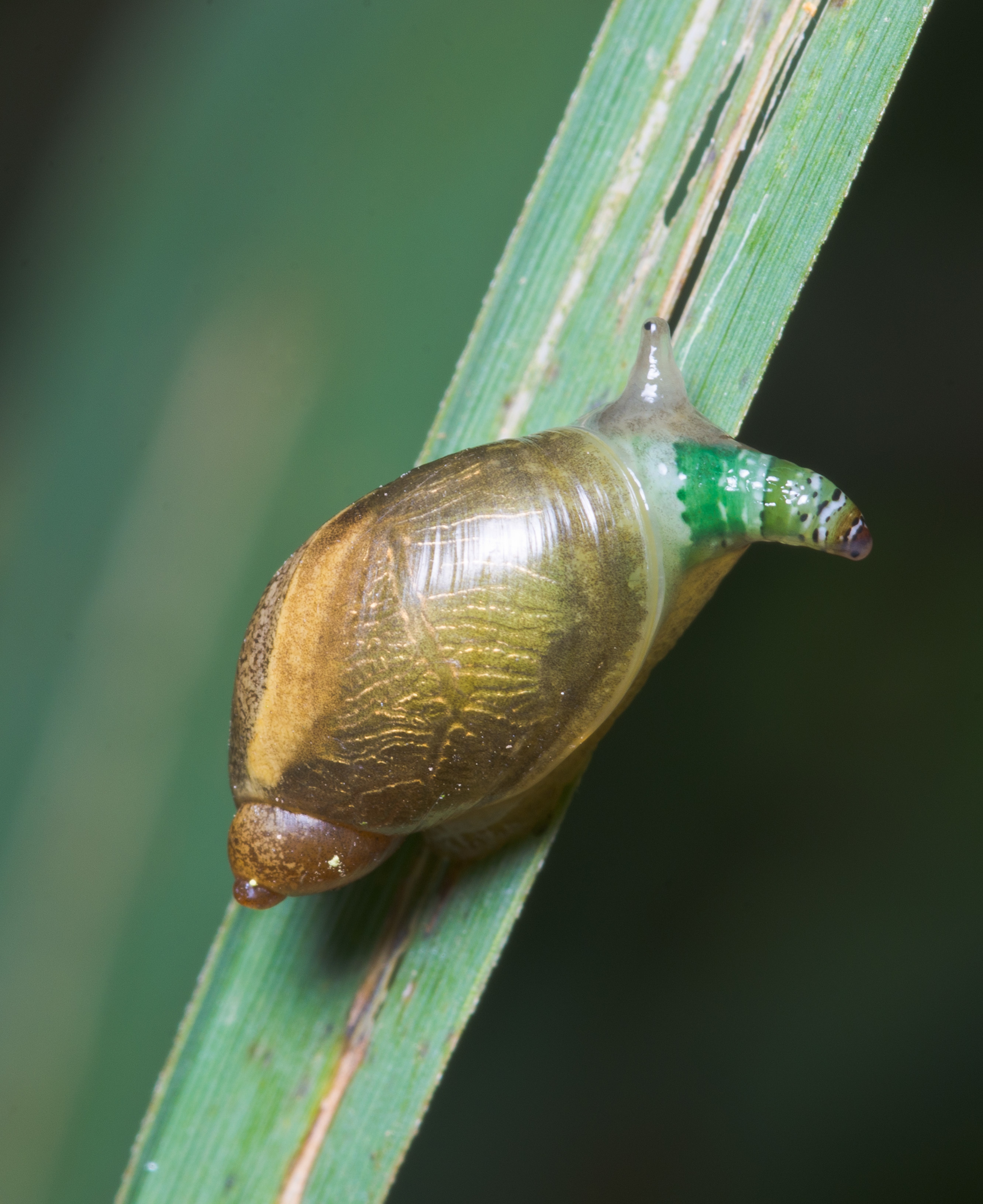 Image of green-banded broodsac