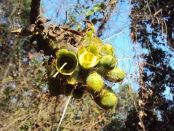 Image of <i>Careya arborea</i> Roxb.