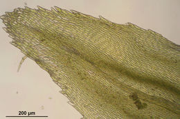 Image of tree climacium moss