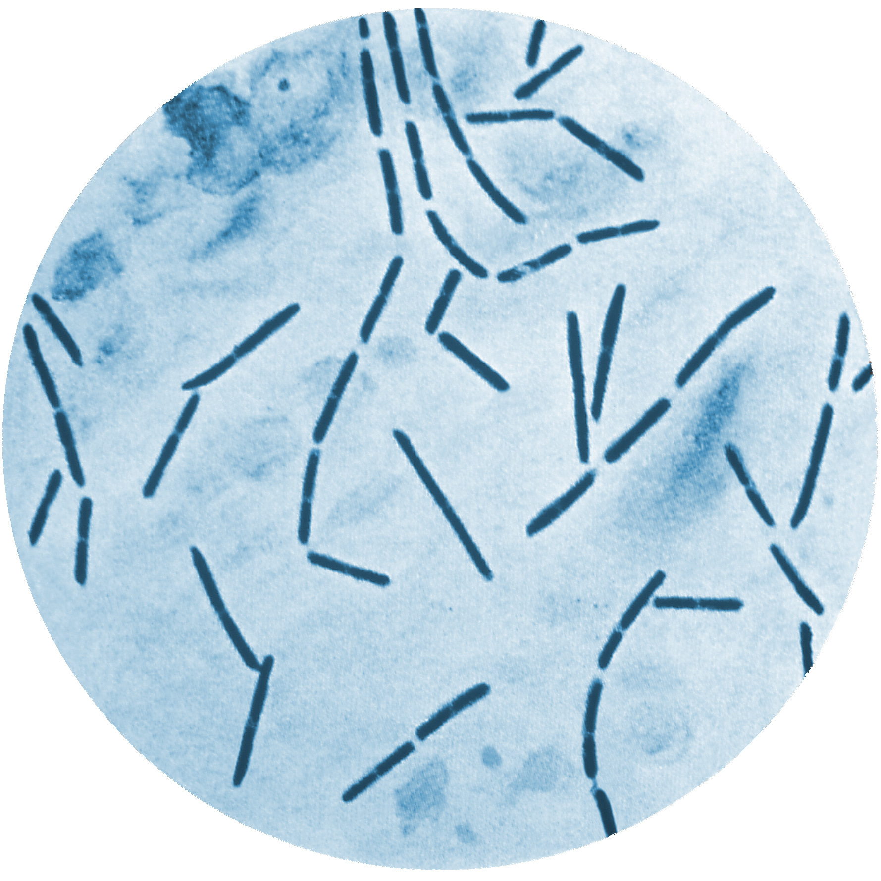 Image of <i>Clostridium septicum</i>