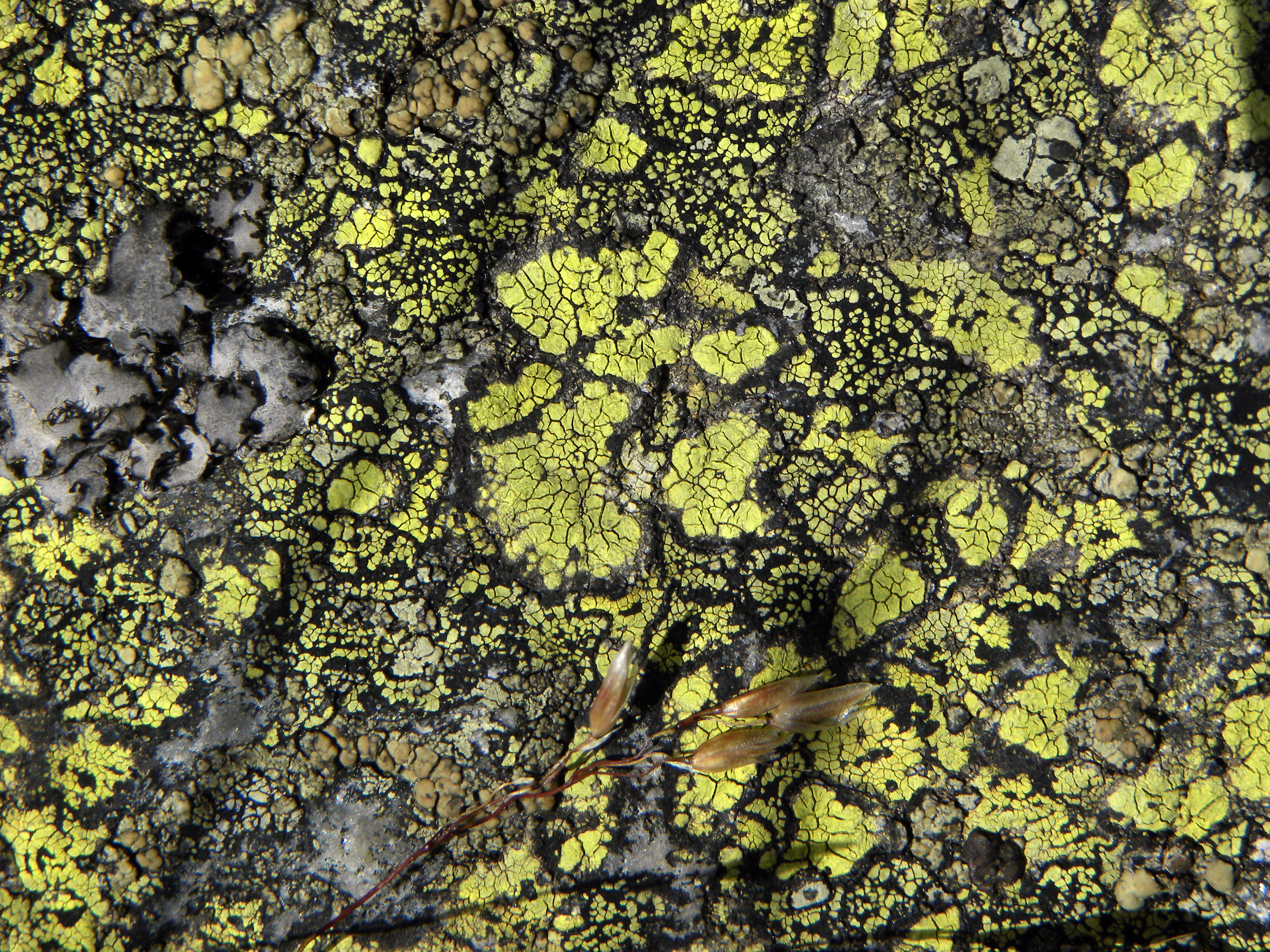 Image of Yellow map lichen;   World map lichen